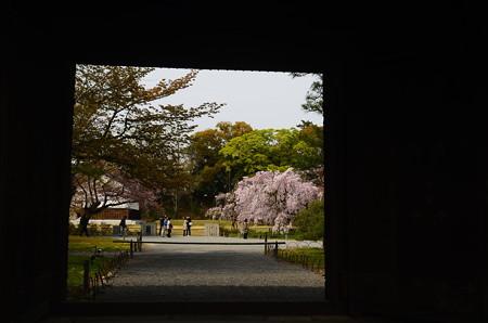 門越しの桜