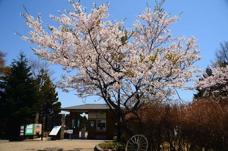 入口前の桜