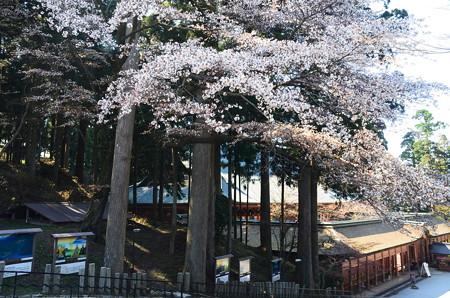 山桜の下の根本中堂