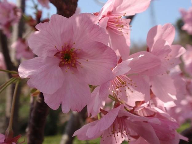 Photos: 桜~ピンクかわいいね!!