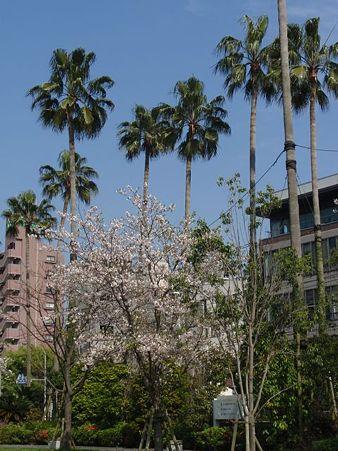 桜&パームツリー