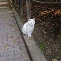 Photos: 城山の白猫