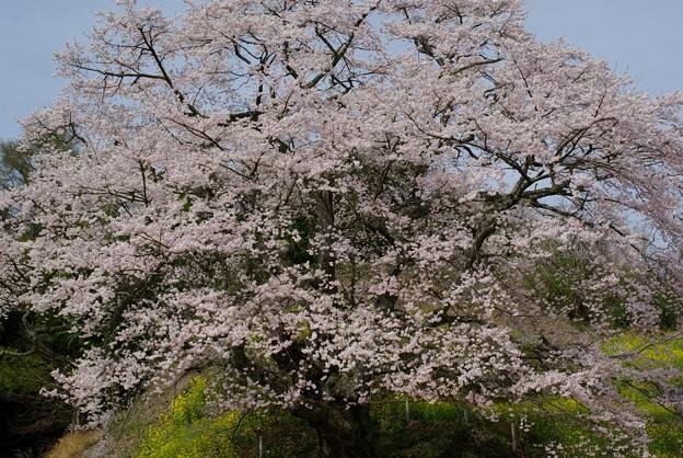是哉寺地蔵桜2