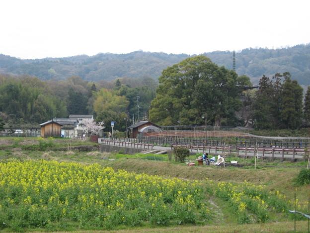 法輪寺横の菜の花畑
