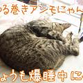 Photos: 080316-ゆる巻きアンモにゃんこ