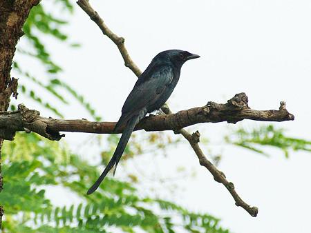 オウチュウ(Black Drongo) IMGP47918_R