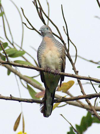 チョウショウバト(Peaceful Dove) IMGP48290_R