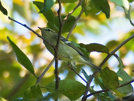 キマユムシクイ(Yellow-browed Warbler) IMGP53411_R