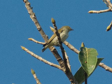 アオハナドリ(Plain Flowerpecker) IMGP53869_R