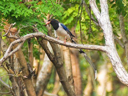 サンジャク(Red-billed Blue Magpie) IMGP111505_R