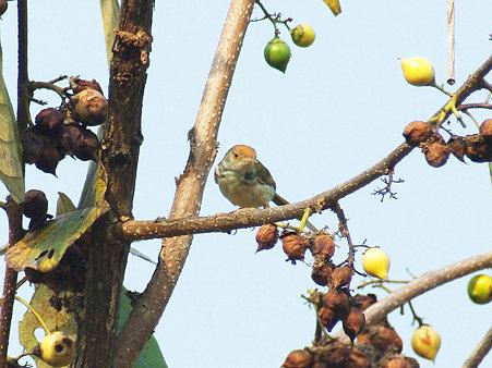 オナガサイホウチョウ(Common Tailorbird) IMGP115374_R2