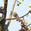 Photos: オナガサイホウチョウ(Common Tailorbird) IMGP115374_R2