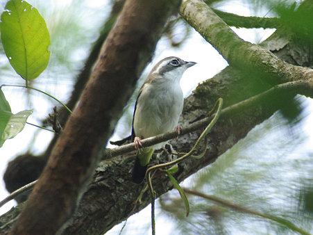 アカバネモズチメドリ♀(White-browed Shrike Babbler) IMGP116091_R
