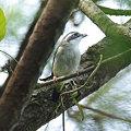 Photos: アカバネモズチメドリ♀(White-browed Shrike Babbler) IMGP116091_R
