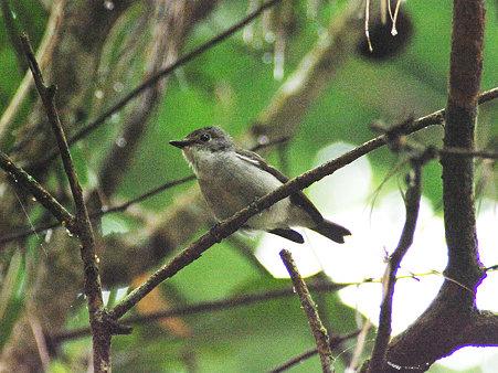 ハジロマユヒタキ♀(Little Pied Flycatcher) IMGP113429(CR)_R