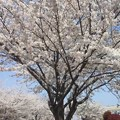 Photos: 桜並木通り