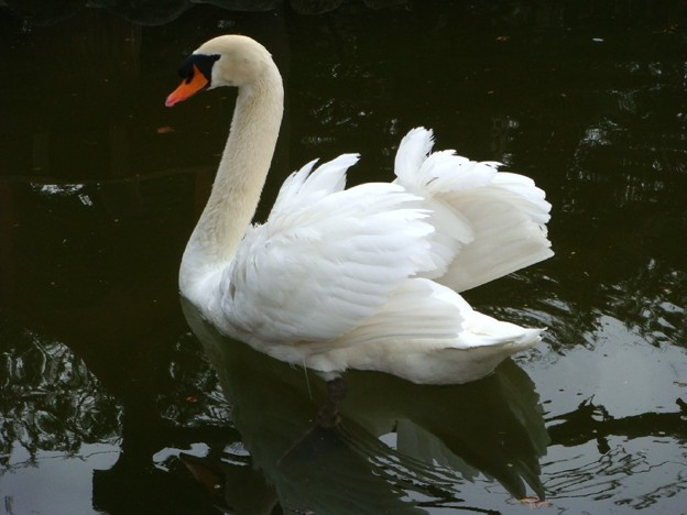 Photos: コブハクチョウ Mute swan