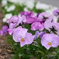 122 中庭に咲く花々 2009年5月5日撮影 by ホテルグリーンプラザ軽井沢