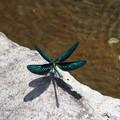 写真: 糸蜻蛉
