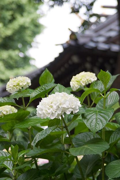 紫陽花_白山神社_06