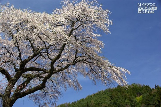 黒船の桜 (11)