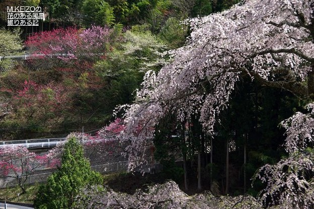 黒船の桜 (8)