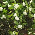 写真: 白き香 沈丁花2