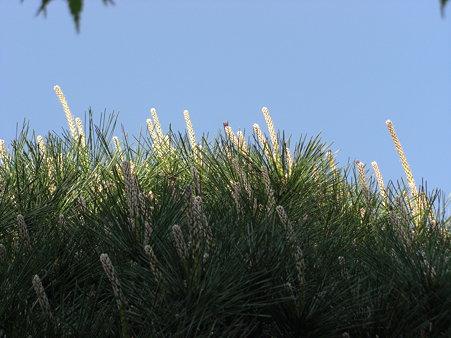 春の松 花