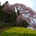 合戦場のしだれ桜-1