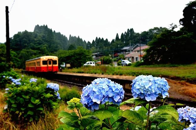 Photos: あじさいとローカル線