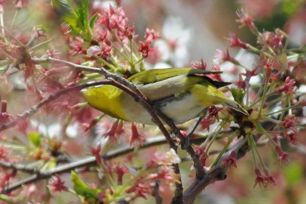 桜とメジロ04