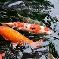 Photos: 鯉がわらわら
