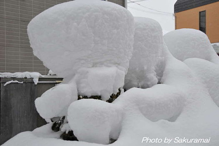 雪囲いの雪