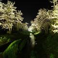 富士山麓の夜桜