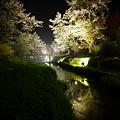 富士山麓の夜桜2