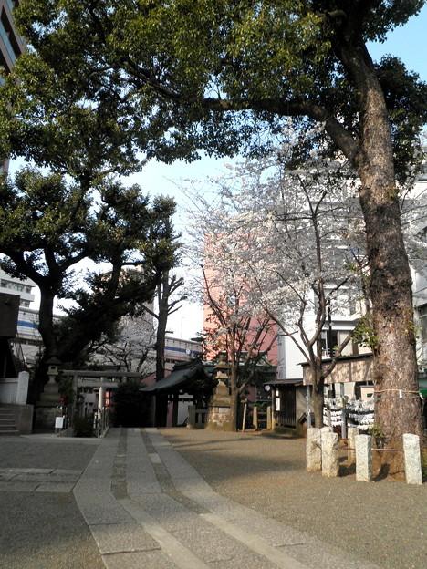 池尻稲荷神社-桜-02