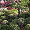 Photos: 文京つつじ祭