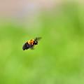 クマバチ飛行~横