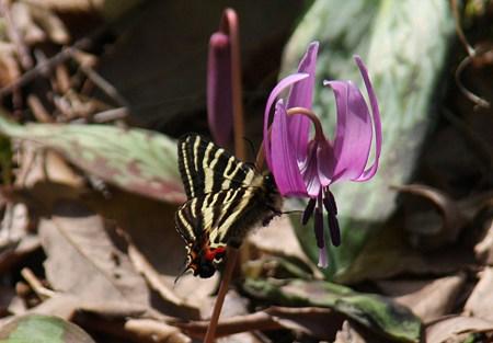ギフチョウ「春の女神」とカタクリ「春の妖精」
