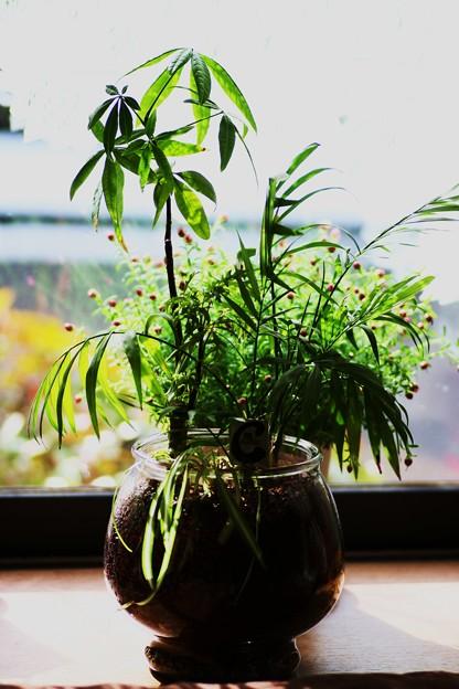 観葉植物・ハイドロカルチャー