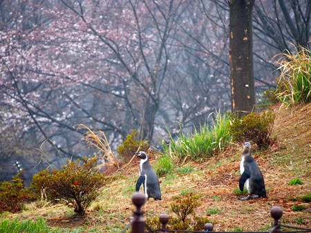 20140330 ペンヒル 雨のペンギンヒルズ05