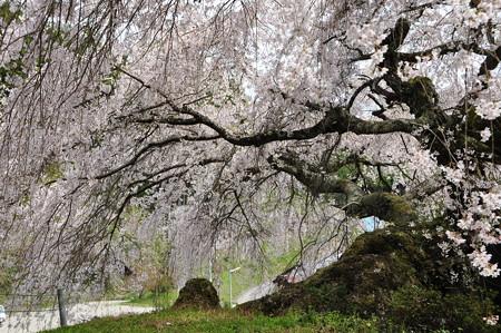 瀧蔵神社の権現桜6