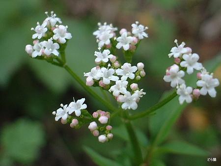 ツルカノコソウ(Valeriana flaccidissima Maxim. )