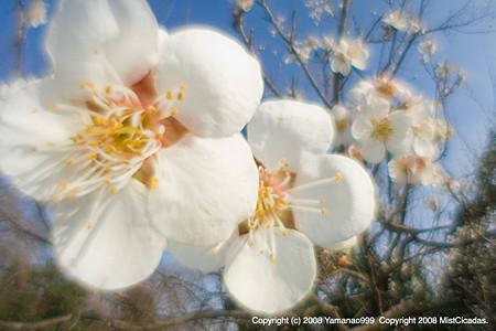 梅の花2008_1