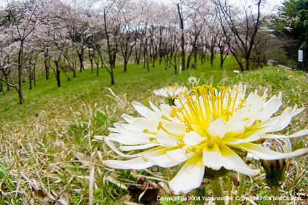 蒲公英と桜のある風景