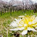 Photos: 蒲公英と桜のある風景