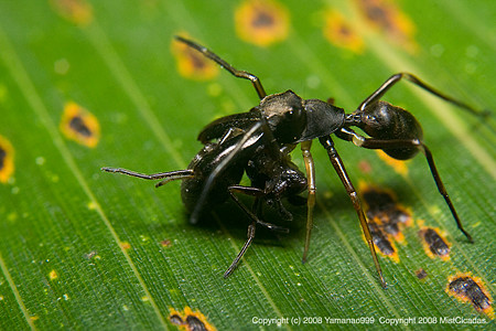 アリグモの捕食