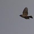 写真: 夕刻曇天の雀