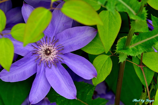 紫のクレマチス