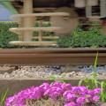 写真: 線路脇の芝桜(2)